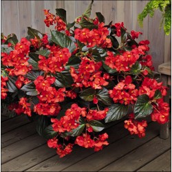 Begonia ' Big Red with Bronze Leaf '