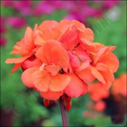 Pelargonia 'Coral'