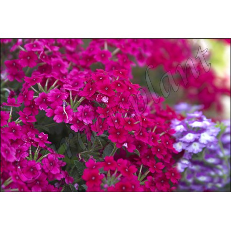 Werbena purpurowa