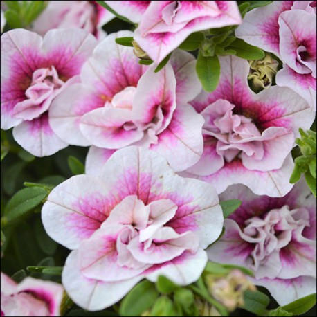 Million bells, pink-bicolor ,pełnokwiatowy