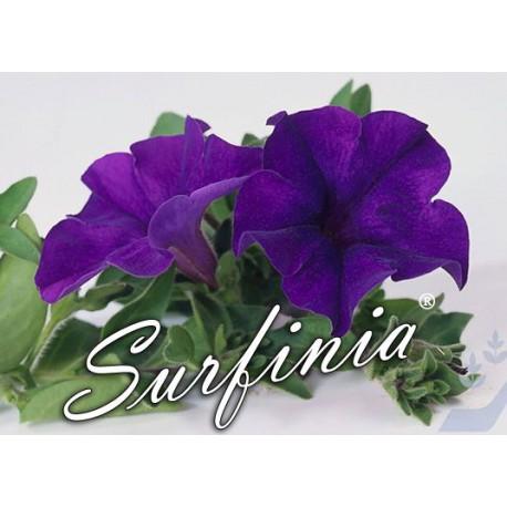 Surfinia niebieska