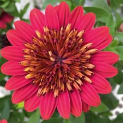 Osteospermum pełnokwiatowe, czerwone