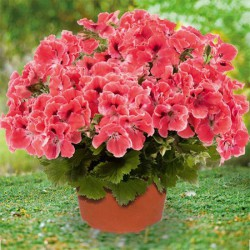 Pelargonia angielska 'Aristo Orange'