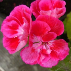 Pelargonia  'Dark Cranberry'