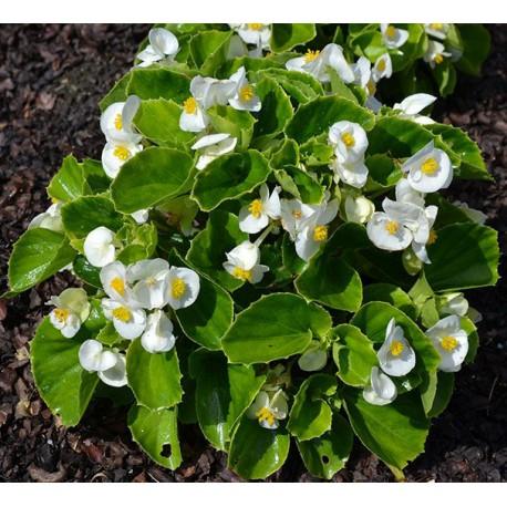 Begonia stale kwitnąca biała