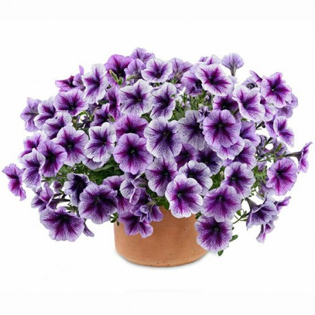 Surfinia 'Pegassus Purple Vein'